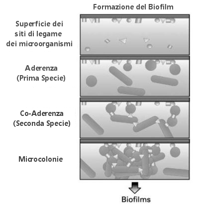 Generalized scheme depicting the development of gut biofilms.