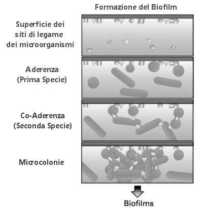Esquema generalizado que descreve o desenvolvimento de biofilmes de intestino.